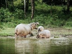 pepe el hipopotamo